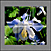 Tile-Murals-Backsplash_Flowers-Columbines-Blue-01thumbnail.jpg